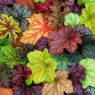 USA SELLER Mixed Coral Bells 25  seeds