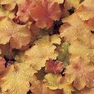USA SELLER Caramel Coral Bells 25  seeds
