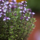 USA SELLER Common Thyme 1000 seeds