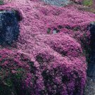 USA SELLER Creeping Thyme 1000 seeds