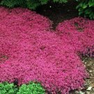 USA SELLER Magic Carpet Thyme 1000 seeds
