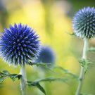 USA SELLER Globe Blue Thistle 25 seeds