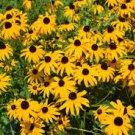 USA SELLER Black Eye'd Susan 100 seeds