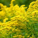 USA SELLER Goldenrod 100 seeds