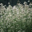 USA SELLER Valerian 25 seeds