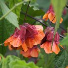 USA SELLER orange Hot Lava Abutilon 10 seeds