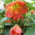 USA SELLER Tangerine Abutilon 10 seeds