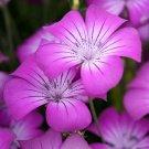 USA SELLER Agrostemma Milas Rose 50 seeds