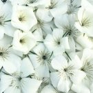 USA SELLER Agrostemma Bianca White 50 seeds
