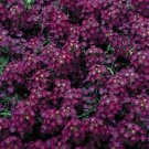 USA SELLER Alyssum Wonderland Deep Purple 100 seeds
