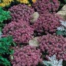 USA SELLER Alyssum  Rosie O'Day 100 seeds