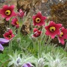 USA SELLER Anemone Red 25 seeds