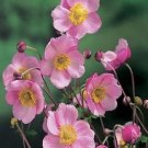 USA SELLER Anemone Pink 25 seeds