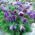 USA SELLER Anemone Violet 25 seeds