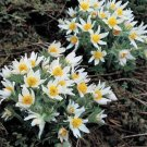 USA SELLER Anemone Ice White 25 seeds