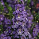 USA SELLER Angelonia Blue 25 seeds