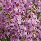 USA SELLER Angelonia Pink 25 seeds