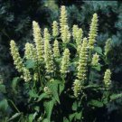 USA SELLER Anise Hyssop Snow Spike 25 seeds