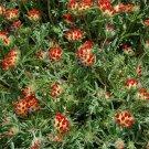 USA SELLER Anthyllis Red Carpet 25 seeds