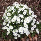 USA SELLER Montana White Lady's Cushions 25 seeds