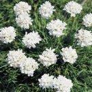 USA SELLER Maritima White Lady's Cushions 25 seeds