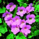 USA SELLER Rose Climbing Snapdragon 10 seeds