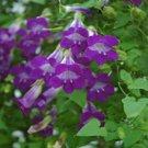 USA SELLER Violet Climbing Snapdragon 10 seeds