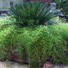 USA SELLER Asparagus Fern 10 seeds