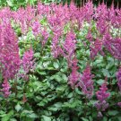 USA SELLER Astilbe Pink 10 seeds