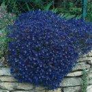 USA SELLER Cascading Blue Rock Cress 25 seeds