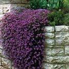 USA SELLER Cascading Purple Rock Cress 25 seeds