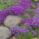 USA SELLER Whitewell Gem Rock Cress 25 seeds