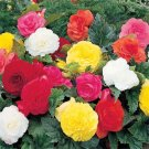 USA SELLER Begonia Tuberosa Double Mix 10 seeds
