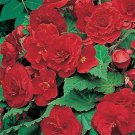 USA SELLER Begonia Tuberosa Red 10 seeds