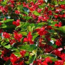 USA SELLER Begonia Wax Red 10 seeds