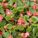 USA SELLER Begonia Wax Rose 10 seeds