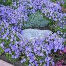 USA SELLER Blue Bellflower 100 seeds