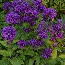 USA SELLER Bellflower Superba 100 seeds