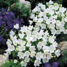 USA SELLER Bellflower White 100 seeds