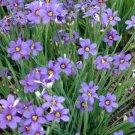 USA SELLER Blue-eyed Grass 50 seeds