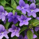 USA SELLER Browallia 25 seeds
