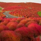 USA SELLER Burning Bush 50 seeds