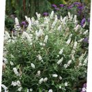 USA SELLER Miss Pearl Butterfly Bush 25 seeds
