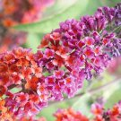 USA SELLER Bicolor Buddleia Butterfly Bush 25 seeds