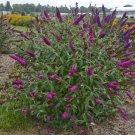 USA SELLER Queen of Hearts Butterfly Bush 25 seeds