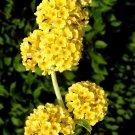 USA SELLER Yellow Honeycomb Butterfly Bush 25 seeds