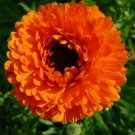 USA SELLER Geisha Girl Calendula 10 seeds