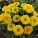 USA SELLER Golden Emperor Calendula 10 seeds