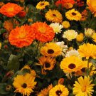 USA SELLER Calendula Mix 10 seeds