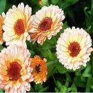 USA SELLER Pink Surprise Calendula 10 seeds
